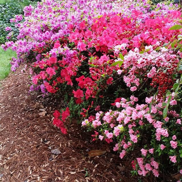 Azaleas bloom
